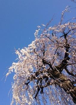 02枝垂れ桜月写真.JPG